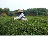 東方美人, 上天巧妙安排的神奇美味-首部曲, 採茶:P1030054.JPG