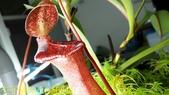 食蟲植物 勞氏 x 葫蘆 豬籠草:50744.jpg