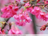 桃園虎頭山桃園高中櫻花開了! 2012/02/06:P1050040.jpg