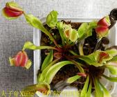 熱吻捕蠅草 (Dionaea Hot Kiss)  20181117:51509 熱吻捕蠅草.jpg