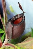 食蟲植物:豬籠草 維京X黑月亮.jpg