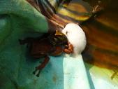 有機菜園的意外看見青蛙交配 (青蛙下蛋) 3P 喔!:P1070168.JPG