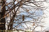 桃園市桃園區玉山公園 落羽松大道 2015/11/23:IMG_0595 白頭翁.jpg