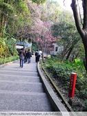 桃園虎頭山桃園高中櫻花開了! 2012/02/06:P1050004.jpg