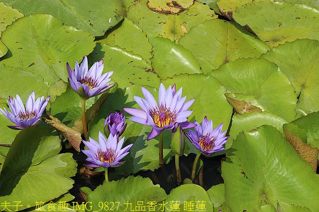 IMG_9827 九品香水蓮 睡蓮.jpg - 大西拉雅 台南六甲 X 台南官田 20210326