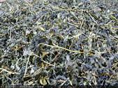 台式綠茶製作 2 - 揉捻成型 (包布球.平揉.解塊):P1100638.JPG
