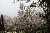 淡水楓樹湖古道木蘭花辛夷 20150225 :IMG_4063.jpg