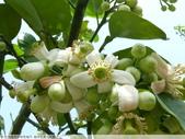 我每年中秋吃柚子, 柚子花第一次看:P1020314.JPG