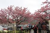 陽明山平菁街42巷賞櫻 2018/01/25:IMG_6422-1.jpg
