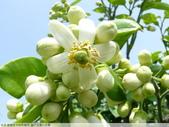 我每年中秋吃柚子, 柚子花第一次看:P1020322.JPG