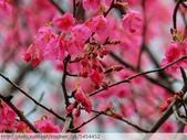 桃園虎頭山桃園高中櫻花開了! 2012/02/06:P1050022.jpg