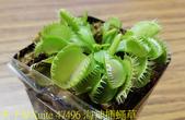 海神捕蠅草 Dionaea Triton 食蟲植物 20181108:47496 海神捕蠅草.jpg