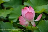 新北市淡水區屯山里荷花田 2015/06/04:DSC_2141.jpg