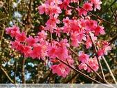 桃園虎頭山桃園高中櫻花開了! 2012/02/06:P1040993.jpg