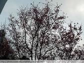 桃園虎頭山桃園高中櫻花開了! 2012/02/06:P1050015.jpg