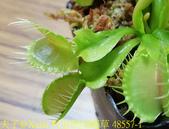 科里根捕蠅草  Dionaea Korrigans 20181112:科里根捕蠅草 48557-1.jpg