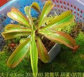 食蟲植物:豬籠草 葫蘆x試管瓶 出錦