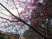 桃園市虎頭山櫻花開了 2010/01/31:P1000189-1.jpg