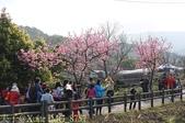新北市三芝群櫻紛飛漫步行 - 三生步道 20140228 :IMG_8757.jpg