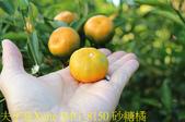 台中豐原 雲仙谷綜合觀光果園 20191201:IMG_8150 砂糖橘.jpg