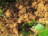 紅火蟻:IMG_2780.jpg