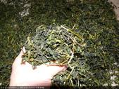 台式綠茶製作 2 - 揉捻成型 (包布球.平揉.解塊):P1100695.JPG