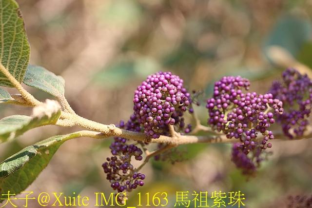 IMG_1163 馬祖紫珠.jpg - 可愛的梅花鹿在大坵島等你 20171021