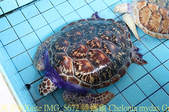 泰國攀牙海龜生態保育中心 20160207:IMG_5672 綠蠵龜 Chelonia mydas Green Sea Turtle.jpg