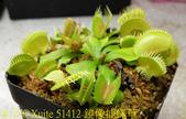 鏡像捕蠅草 Dionaea muscipula Mirror 20181117:51412 鏡像捕蠅草 .jpg