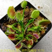 爬行動物捕蠅草 Dionaea Reptile 20181119:爬行動物捕蠅草 51731.jpg