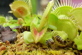 鏡像捕蠅草 Dionaea muscipula Mirror 20181117:51439 鏡像捕蠅草 .jpg