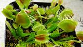 爬行動物捕蠅草 Dionaea Reptile 20181119:爬行動物捕蠅草 51738.jpg
