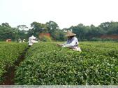 東方美人, 上天巧妙安排的神奇美味-首部曲, 採茶:P1030017.JPG
