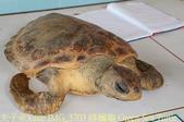 泰國攀牙海龜生態保育中心 20160207:IMG_5703 綠蠵龜 Green Sea Turtle.jpg