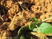 紅火蟻:IMG_2781.jpg