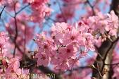 新北市三芝群櫻紛飛漫步行 - 三生步道 20140228 :IMG_8761.jpg