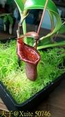 食蟲植物 勞氏 x 葫蘆 豬籠草:50746.jpg