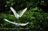 新北市坪林拱橋,賞白鷺鷥、黃頭鷺、夜鷺  2015/05/06:DSC_2094.jpg