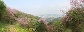 騰龍御櫻 櫻花綻放 2018/03/05:89056.jpg