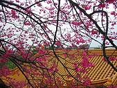 桃園市虎頭山櫻花開了 2010/01/31:P1000210-1.jpg