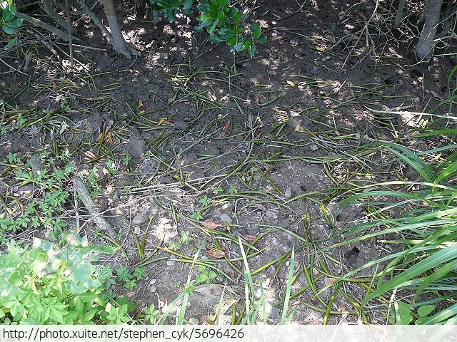 新北市八里左岸.挖子尾自然保留區.觀海長堤:P1070939.jpg