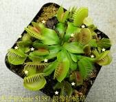 鏡像捕蠅草 Dionaea muscipula Mirror 20181117:51387-1 鏡像捕蠅草 .jpg