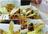 西伯利亞捕蠅草 Dionaea Siberia 20181122:西伯利亞捕蠅草 52237842.jpg