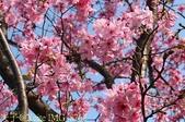 新北市三芝群櫻紛飛漫步行 - 三生步道 20140228 :IMG_8762.jpg