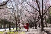 2021年 武陵農場 山櫻花、紅粉佳人 繽紛綻放 20210214:IMG_4399.jpg