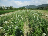 桃園大溪中新里韭菜花田 2013/09/17 :IMG_4482.jpg