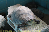 泰國攀牙海龜生態保育中心 20160207:IMG_5662 terrapin 美洲水龜.jpg