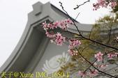 桃園區靜思堂昭和櫻 2017/04/06:IMG_1650-1.jpg