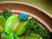 科里根捕蠅草  Dionaea Korrigans 20181112:P1020076.jpg