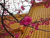 桃園市虎頭山櫻花開了 2010/01/31:P1000203-1.jpg